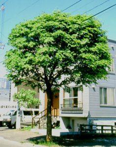 アオダモ_www.fri.hro.or.jp