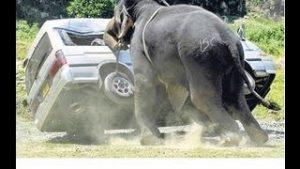 アフリカゾウ最強説_animalkun.org